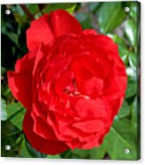 Bright Red Rose At Pilgrim Place In Claremont-california  Acrylic Print