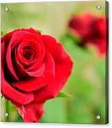 Bright Red Rose Acrylic Print