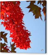 Bright Red Sunlit Autumn Leaves Fall Trees Acrylic Print