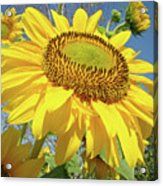 Bright Sunny Happy Yellow Sunflower 10 Sun Flowers Art Prints Baslee Troutman Acrylic Print