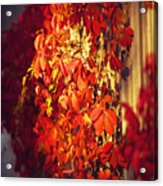 Bright Sunny Red Autumn Plants Acrylic Print