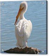Bright White Pelican Acrylic Print
