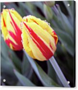 Bright Yellow And Red Tulips Acrylic Print by Kami McKeon