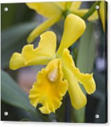 Bright Yellow Cattleya Orchid Acrylic Print by Allan Seiden - Printscapes