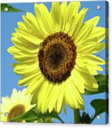 Bright Yellow Sunflower Art Prints Blue Sky Baslee Troutman Acrylic Print