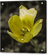 Bright Yellow Tulip Squared Acrylic Print