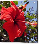 Brightly Colored Hibiscus On The Greek Island Of Mykonos  Acrylic Print