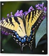 Brilliant Butterfly Acrylic Print