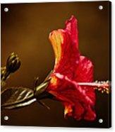 Brilliant Hibiscus Acrylic Print