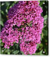 Brilliant Hot Pink Flowering Phlox Flowers In A Garden Acrylic Print
