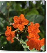 Brilliant Orange Tropical Flower Acrylic Print
