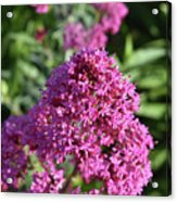 Brilliant Pink Blooming Phlox Flowers In A Garden Acrylic Print