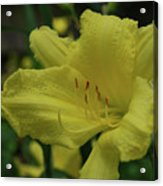Brilliant Yellow Daylilies Flowering In A Garden Acrylic Print