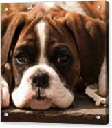 Brindle Boxer Pup Acrylic Print by Bel Menpes