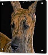 Brindle Great Dane Acrylic Print by Larry Linton
