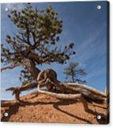 Bristle Cone Tree Acrylic Print