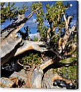 Bristlecone Great Basin Landscape Acrylic Print
