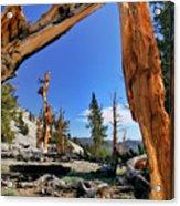 Bristlecone Pine Forest Acrylic Print