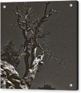 Bristlecone Pine In Black And White Acrylic Print