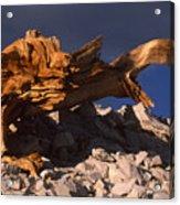 Bristlecone Pine - White Mountains Acrylic Print