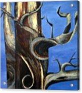 Bristlecone Tree No. 2 Acrylic Print
