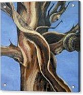 Bristlecone Tree No.4 Acrylic Print