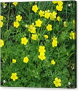Bristly Buttercup Acrylic Print