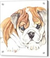 British Bulldog Puppy  Acrylic Print