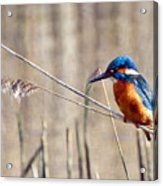 British Kingfisher Acrylic Print