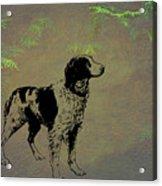 Brittany Spaniel Acrylic Print