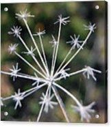Brittle Stars Acrylic Print