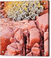 Brittlebush Bloom Acrylic Print