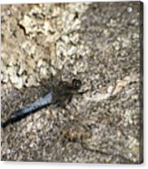 Broad Bodied Chaser Acrylic Print