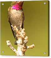 Broad-tailed Hummingbird Sitting Boldly On Perch Acrylic Print