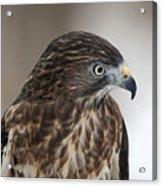 Broad-winged Hawk Acrylic Print