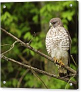 Broad Winged Hawk On The Lookout Acrylic Print