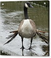 Broken Winded Goose On Lower Weir Acrylic Print
