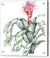 Bromeliad Aechmea Fasciata Acrylic Print