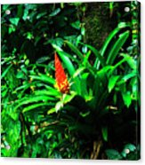 Bromeliads El Yunque  Acrylic Print by Thomas R Fletcher
