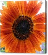 Bronze Sunflower No 2 Acrylic Print