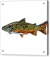 Brook Trout Acrylic Print by Jim  Romeo