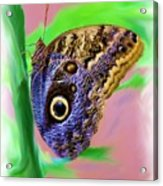 Brown And Blue Butterfly 2 Acrylic Print