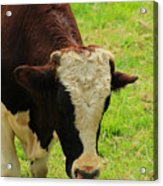 Brown And White Bull On A Farm Acrylic Print