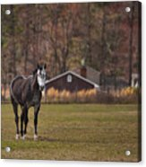 Brown And White Horse Acrylic Print