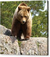 Brown Bear 3  Acrylic Print