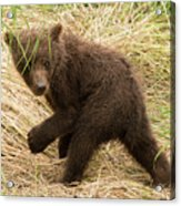 Brown Bear Cub Turns To Look Back Acrylic Print