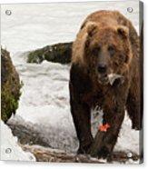Brown Bear Eating Salmon Tail Beside Rocks Acrylic Print
