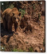 Brown Bear Watches From Steep Rocky Outcrop Acrylic Print