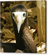 Brown Booby Acrylic Print