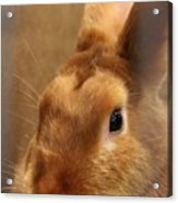 Brown Bunny And Whisker's Closeup Acrylic Print